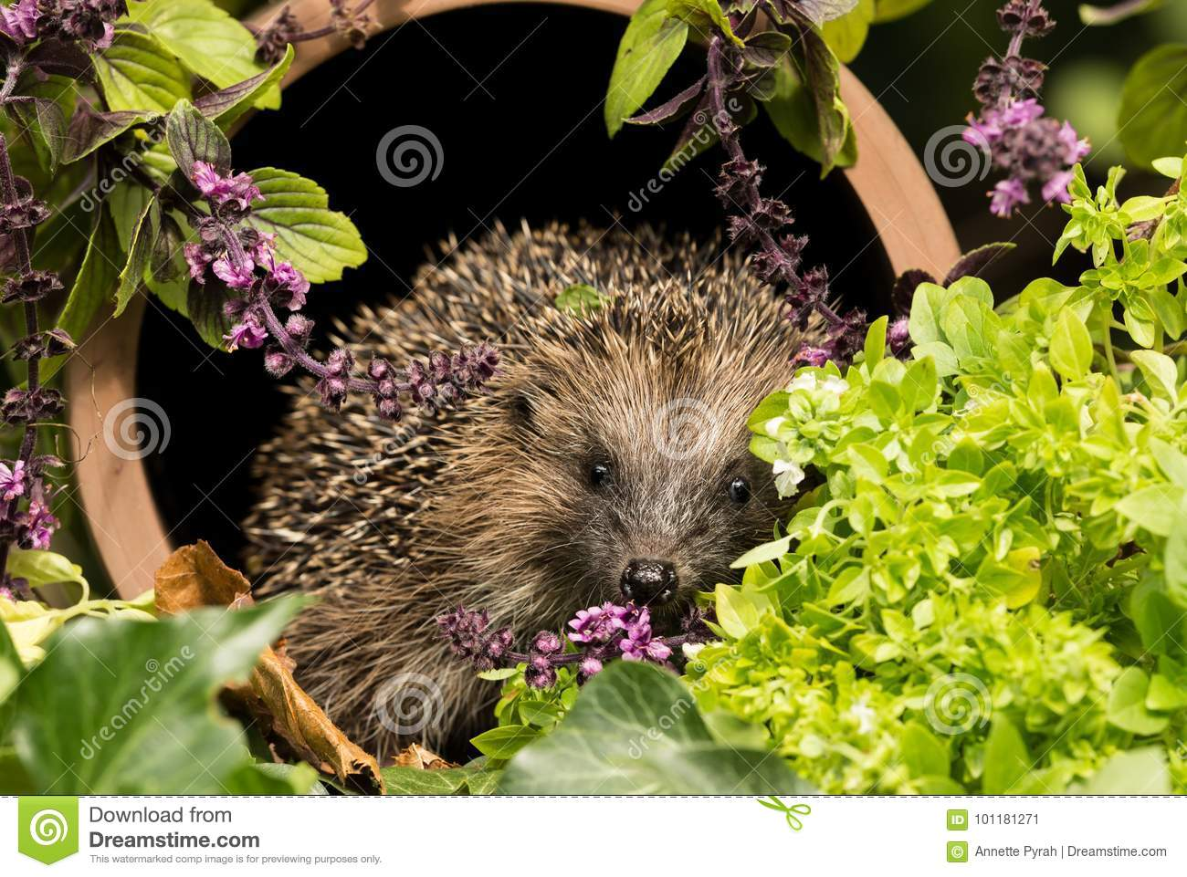 Charmant Wild British Hedgehog Inside A Drainage Pipe In The Herb Garden
