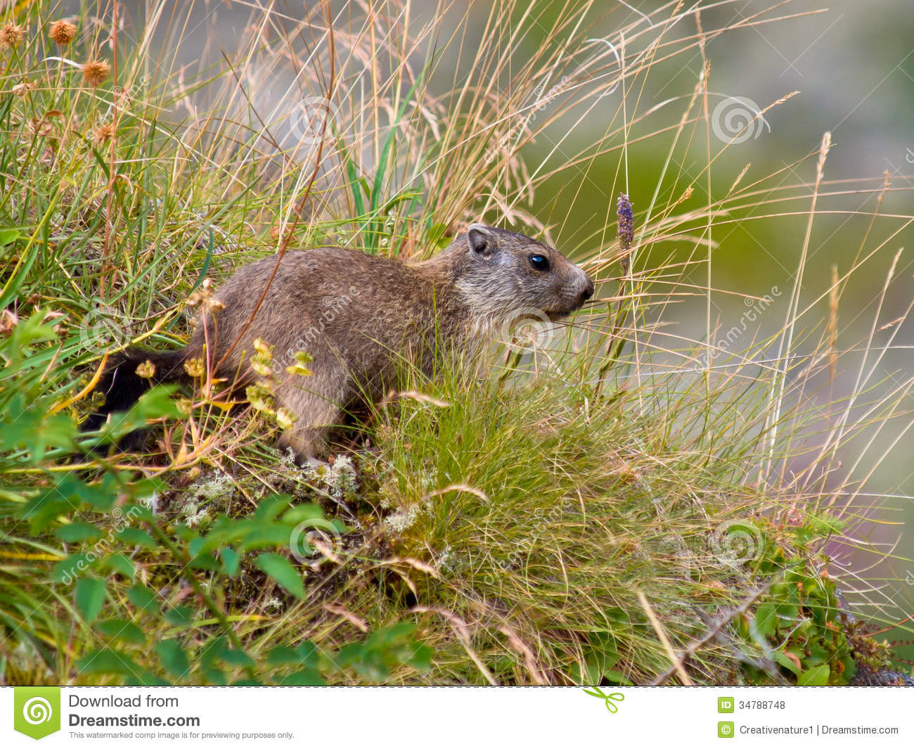 Wild European Marmot Royalty Free Stock Photos Image