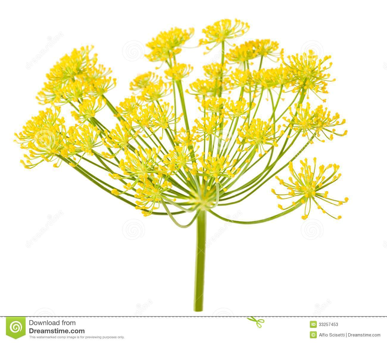 Fennel Flower Wild fennel flowers