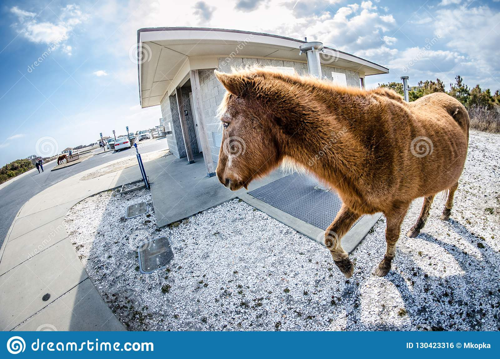 Wild feral horse trots around the public restroom in the parking lot.