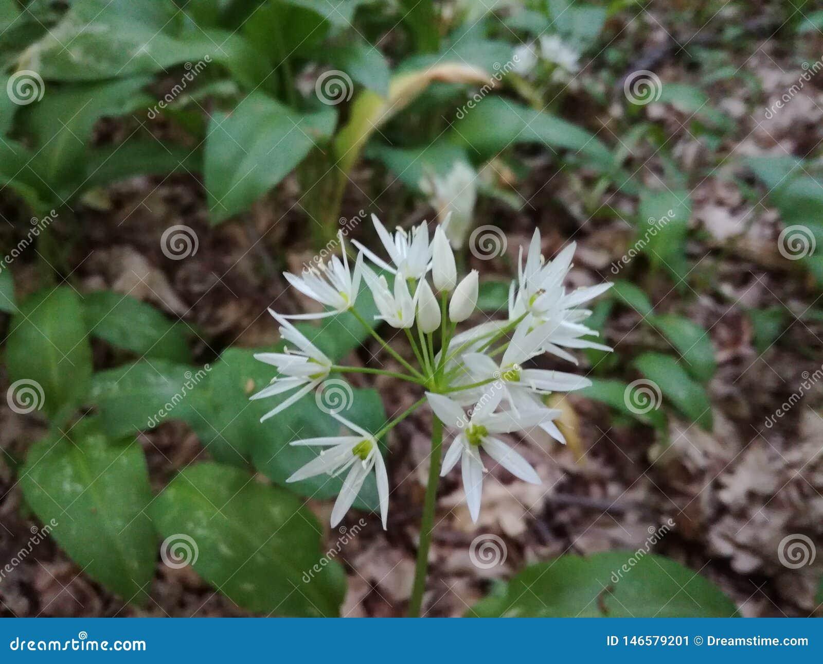 Wild flower , garlic smelling