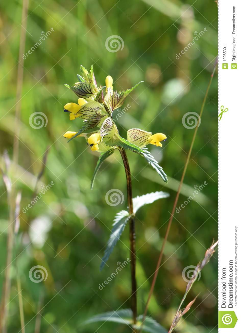 Rhinanthus minor little yellow rattle flower stock image image of download rhinanthus minor little yellow rattle flower stock image image of little background mightylinksfo