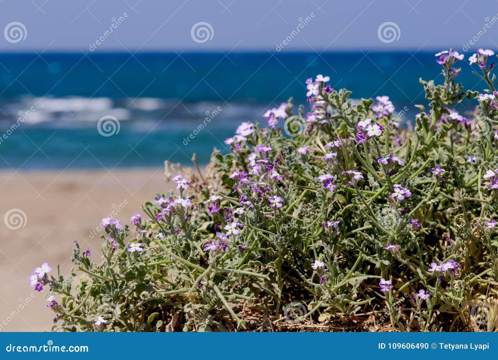 Wild Flowers Matthiola Sinuata Close Up Stock Photo Image Of