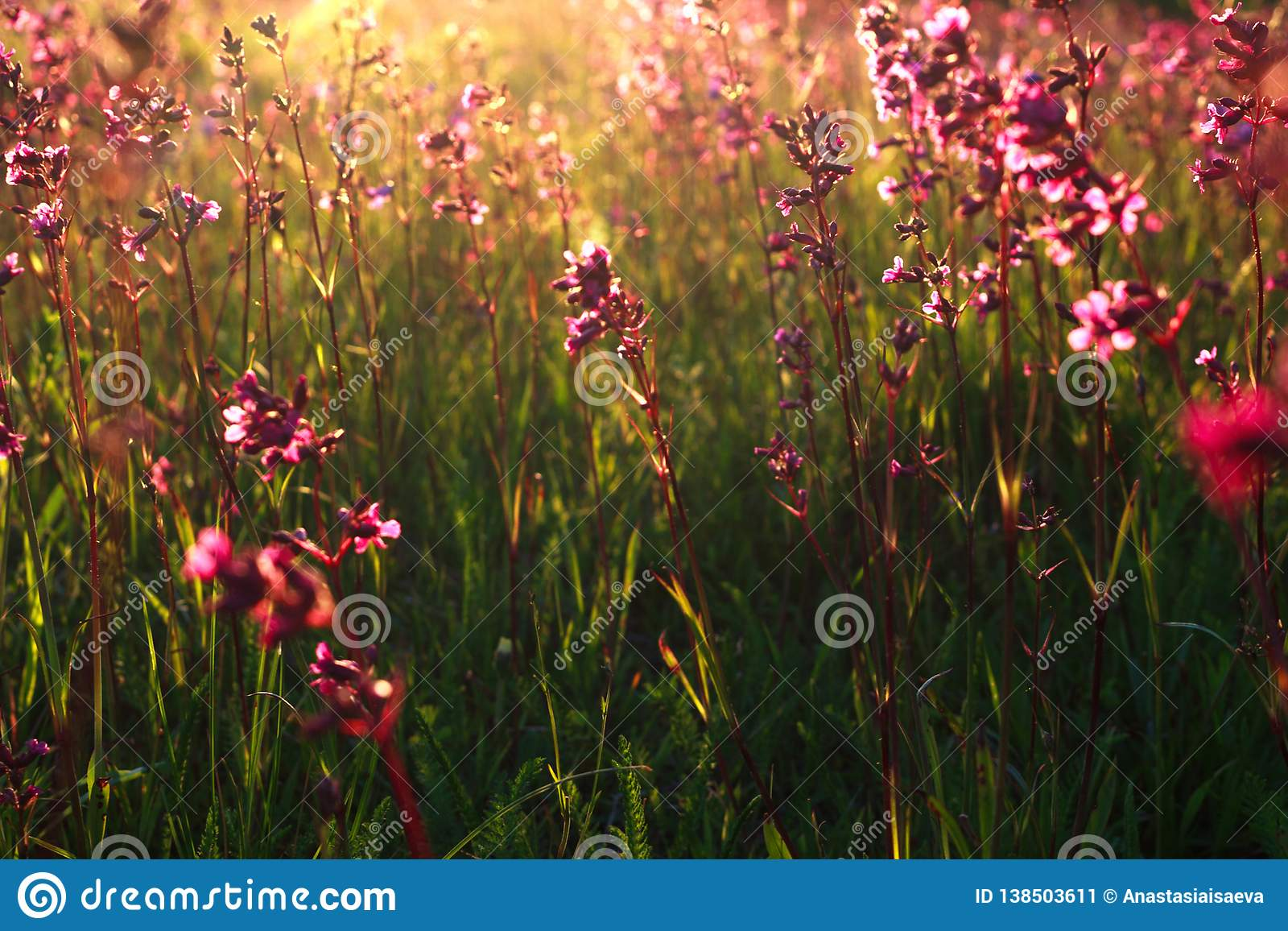 Rose flowers closeup, summer floral abstract background, sunset rays
