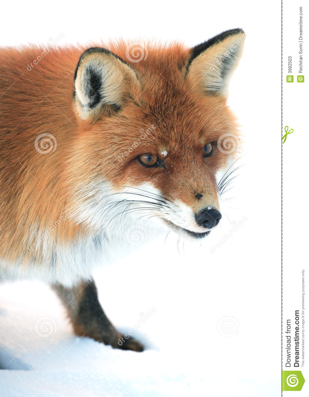 Wild fox stock image. Image of wild, attention, eyes ...