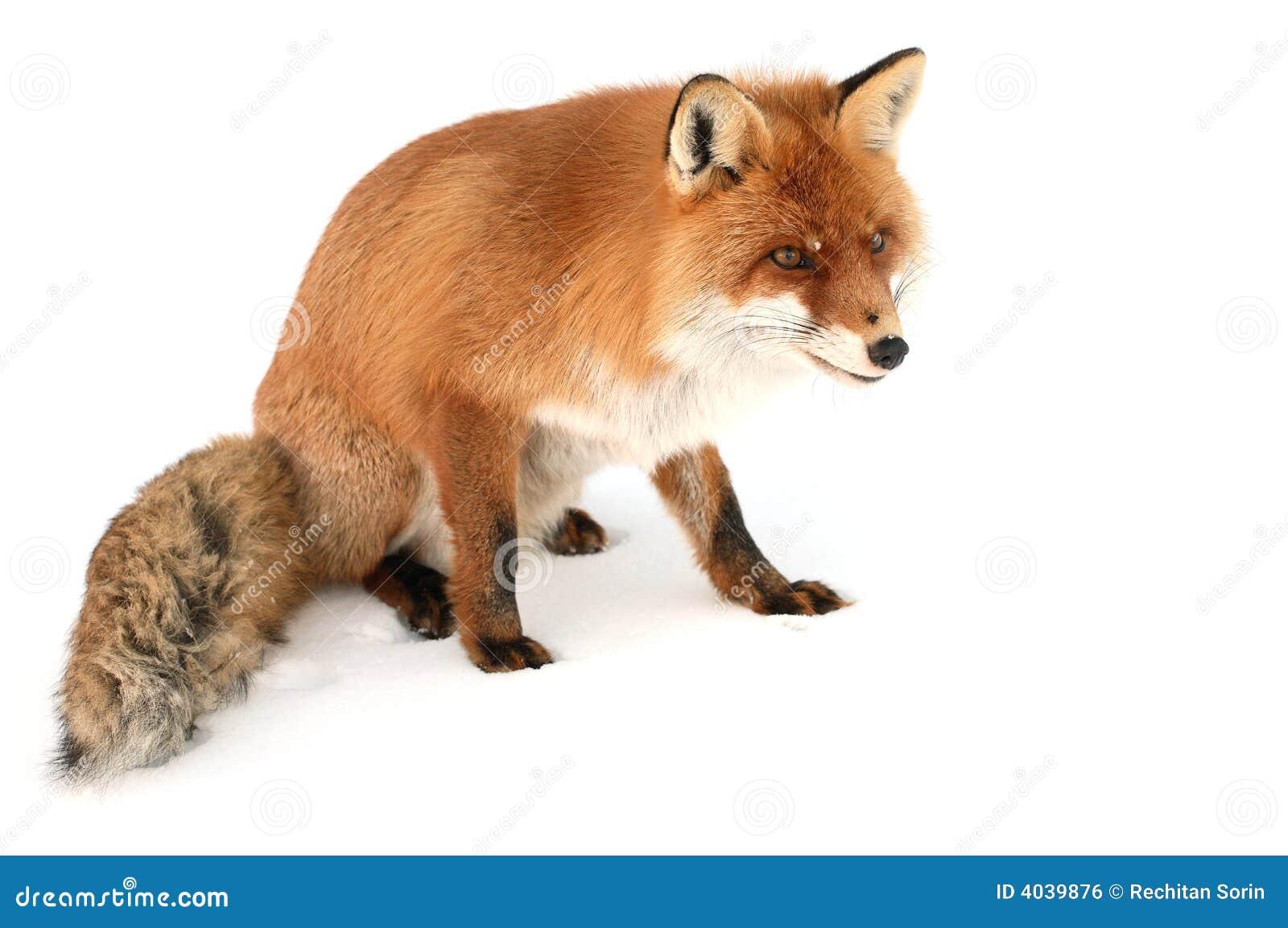 Wild Fox Stock Photography   CartoonDealer.com #7788656