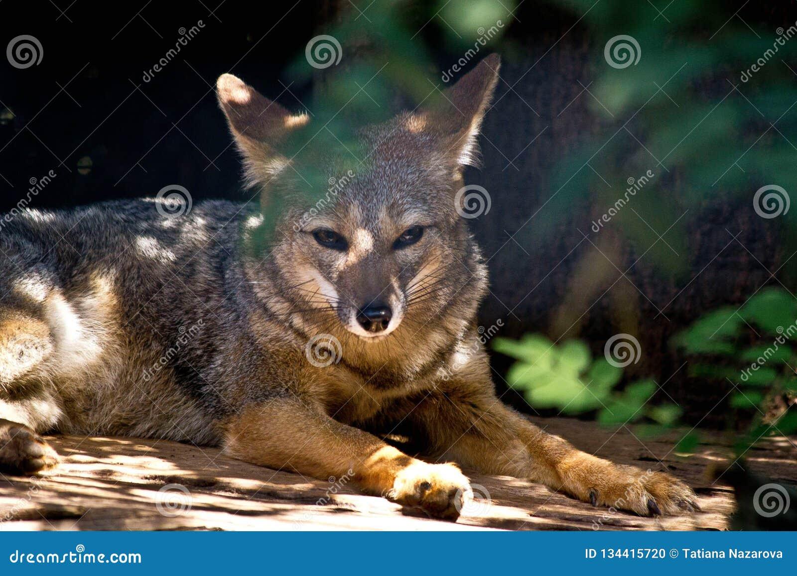 Wild fox at the zoo