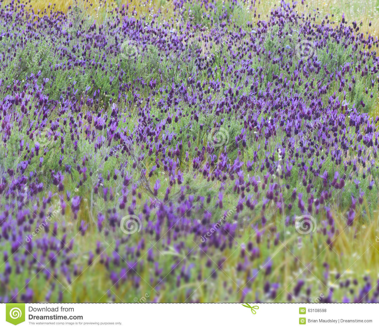 wild french lavender in a spanish field - French Lavender