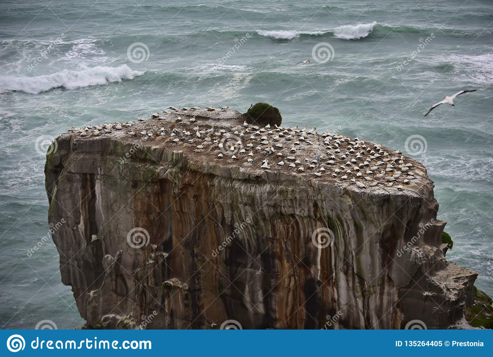 Wild gannet colony at the coast of Muriwai