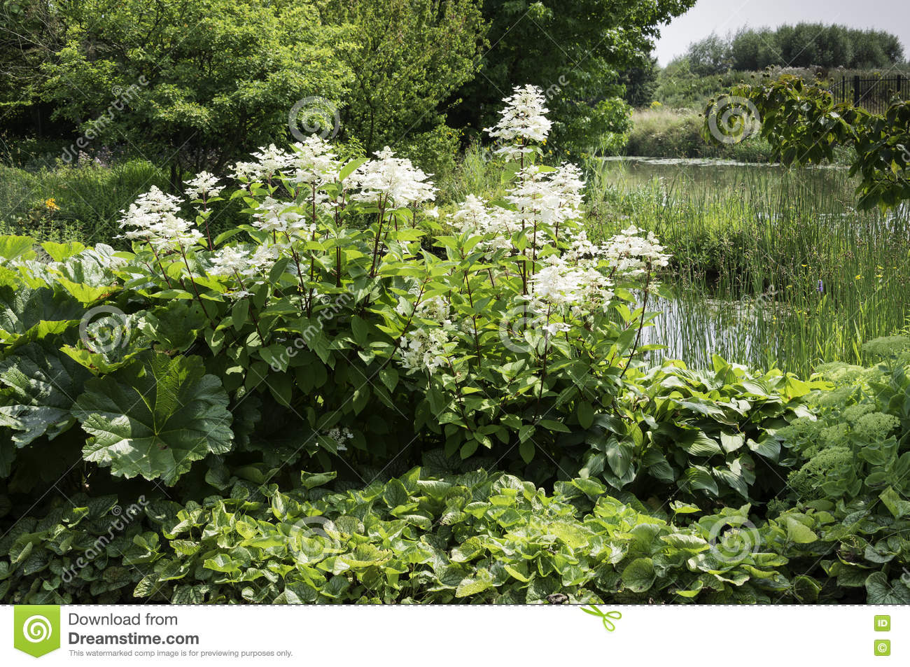 Wild garden with white flowers stock image image of river cane big white hortensia plant in garden near a small river and lot of green plants mightylinksfo