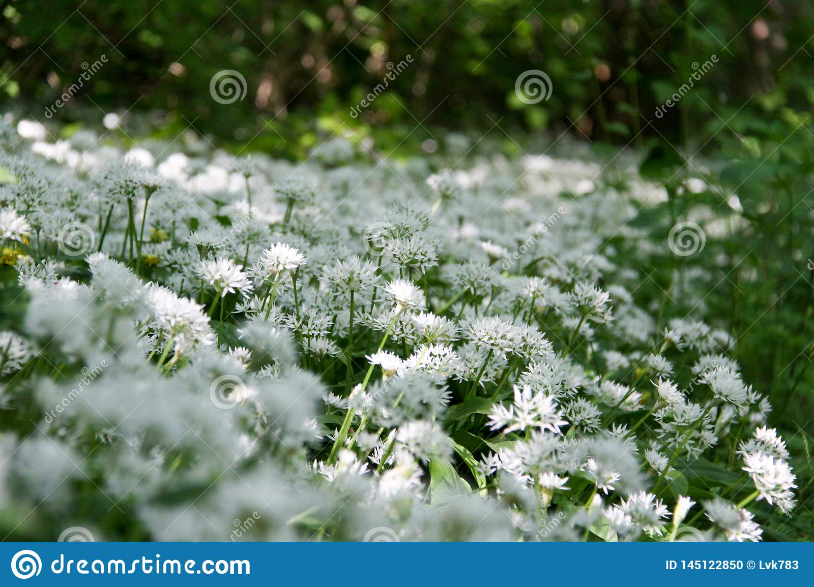 The wild garlic is related with chives, onion and garlic