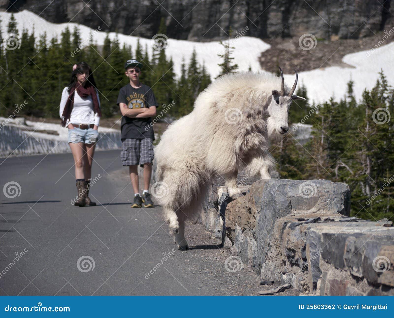 Wild Goat Crossing Stone Fence Near Road Editorial