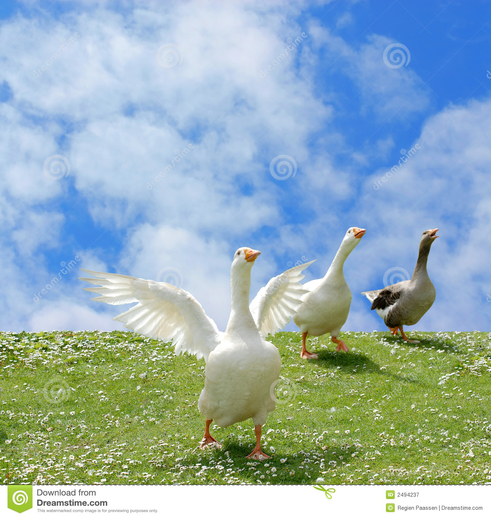 wild goose chase stock image image of daisy animals 2494237