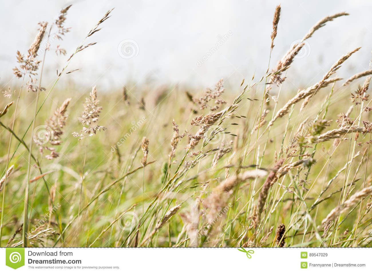 Wild Grasses Blowing in Breeze in a Countryside Meadow
