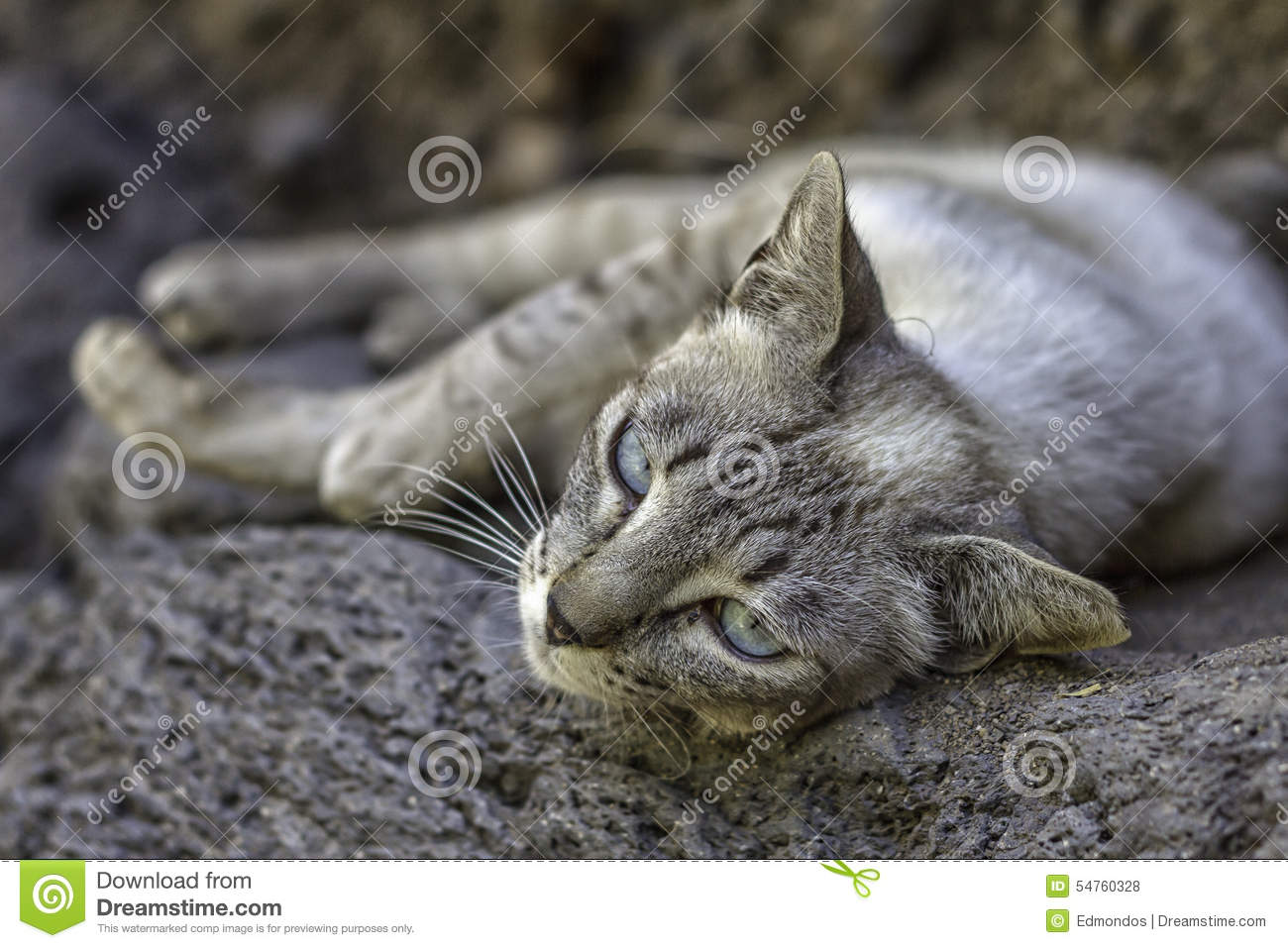 Wild Grey Cat With Blue Eyes Stock Image