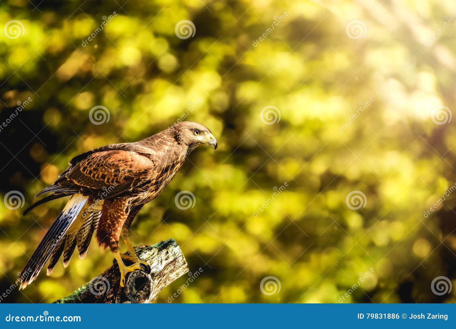 Wild Hawk Perched on Stump Sunlight