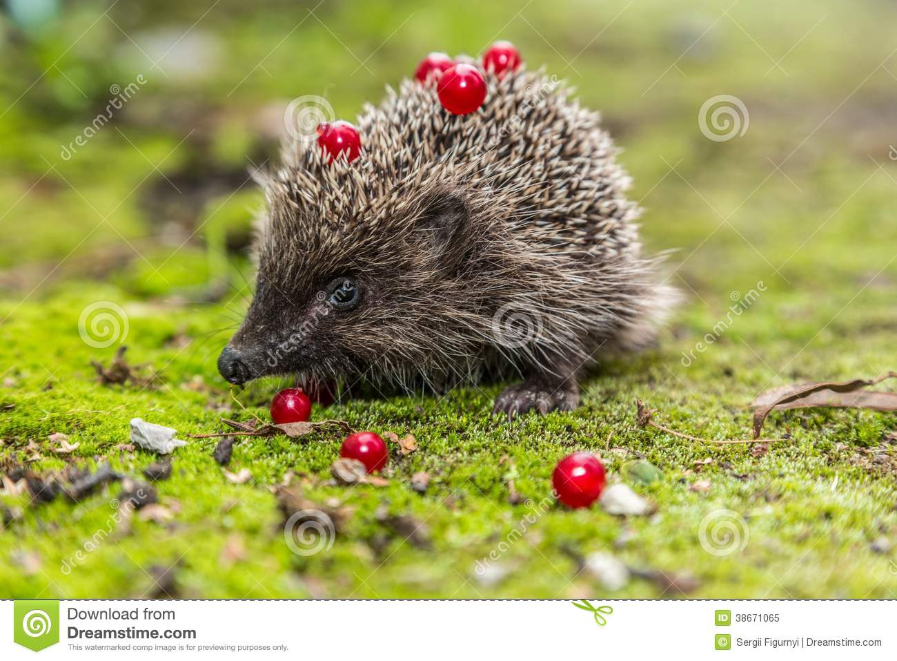 Hummingbird House Plans Wild Hedgehog Is Looking For A Food Royalty Free Stock