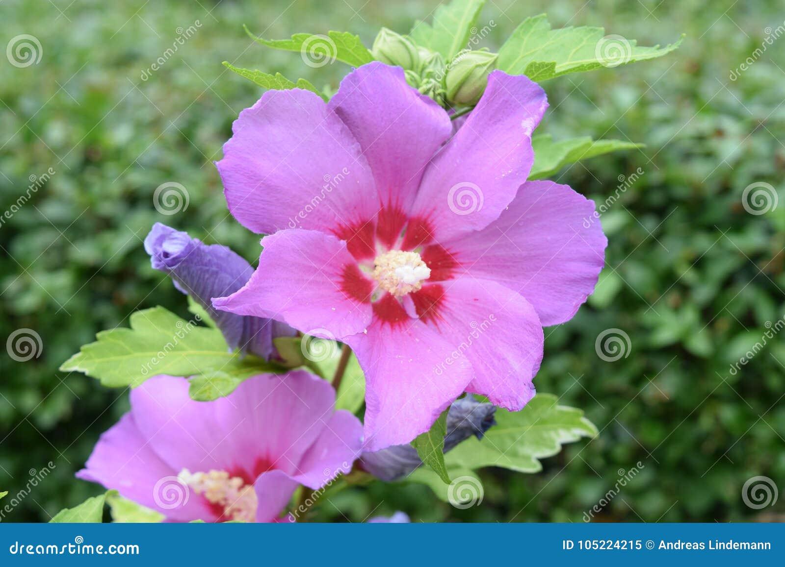 Wild hibiscus flower in pink stock image image of hibiscus bloom wild hibiscus flower in pink izmirmasajfo