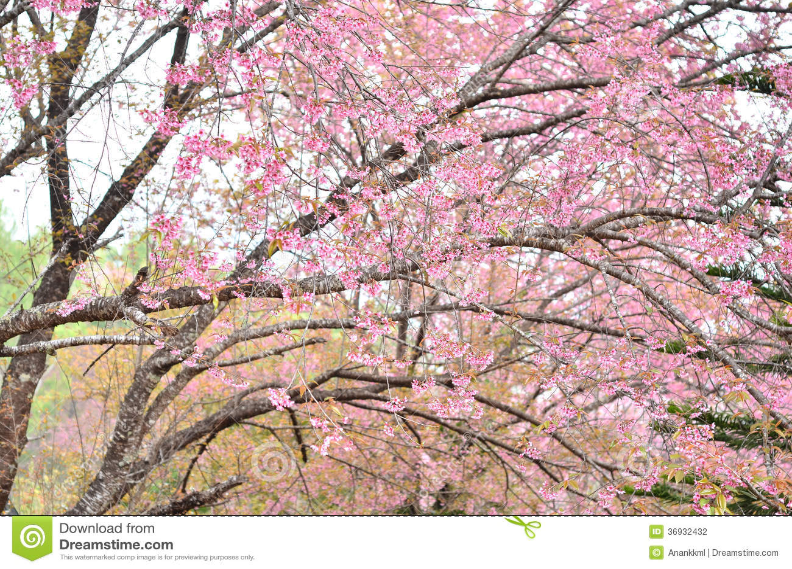 Prunus Cerasoides Flower In Chiangmai Thailand Stock