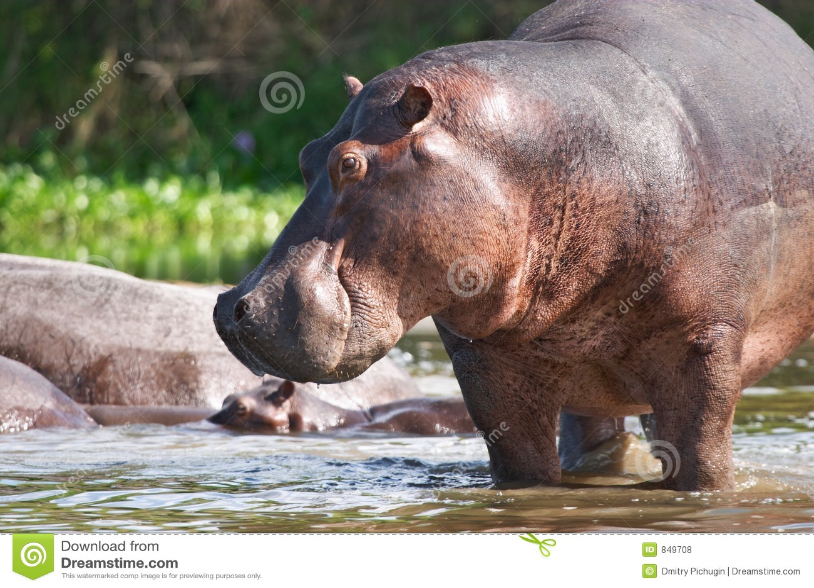 Wild hippo on the Nile