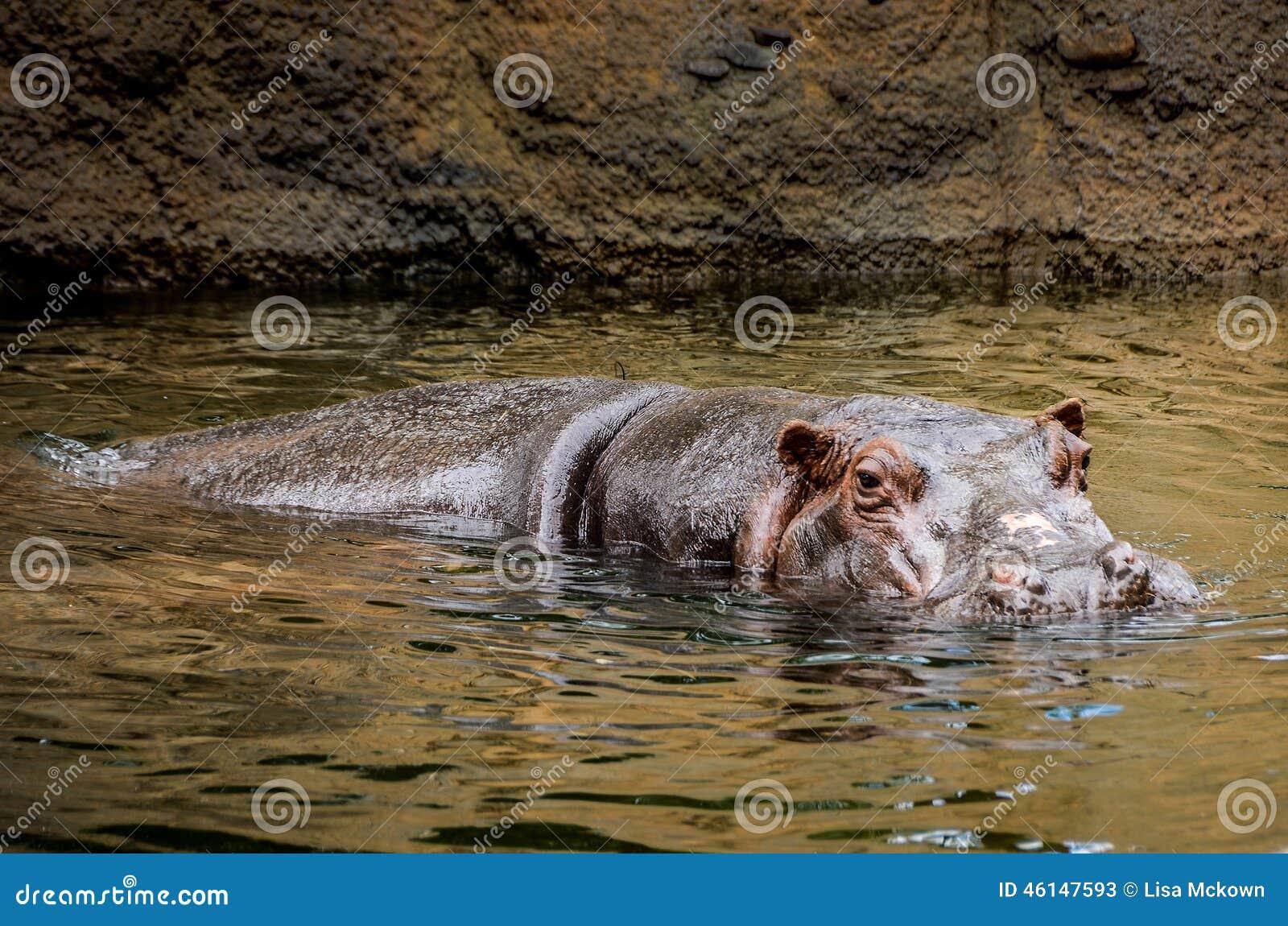 Wild Hippopotamus