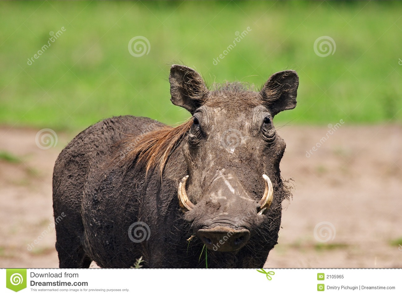 Wild Hog Royalty Free Stock Photo - Image: 2105965