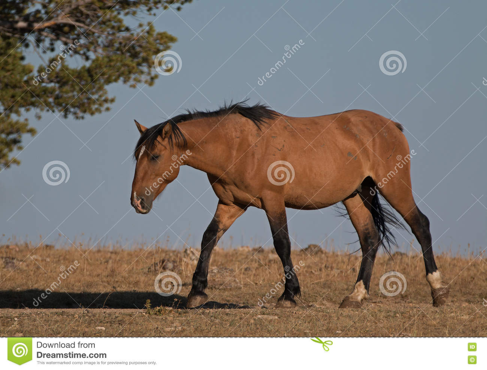 Wild Horse Buckskin Dun Stallion On Tillett Ridge Above Teacup Bowl ...