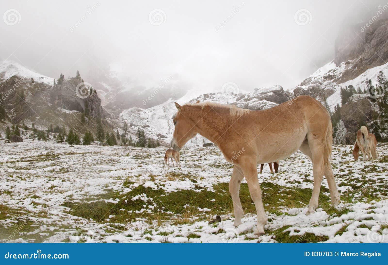 Wild horse in Dolomite Mountains
