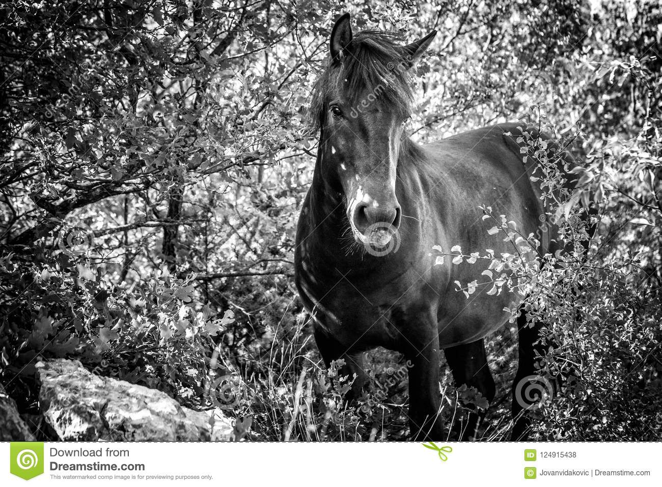 Wild Horse In A Forest Black And White Stock Photo Image Of Nature Stallion 124915438
