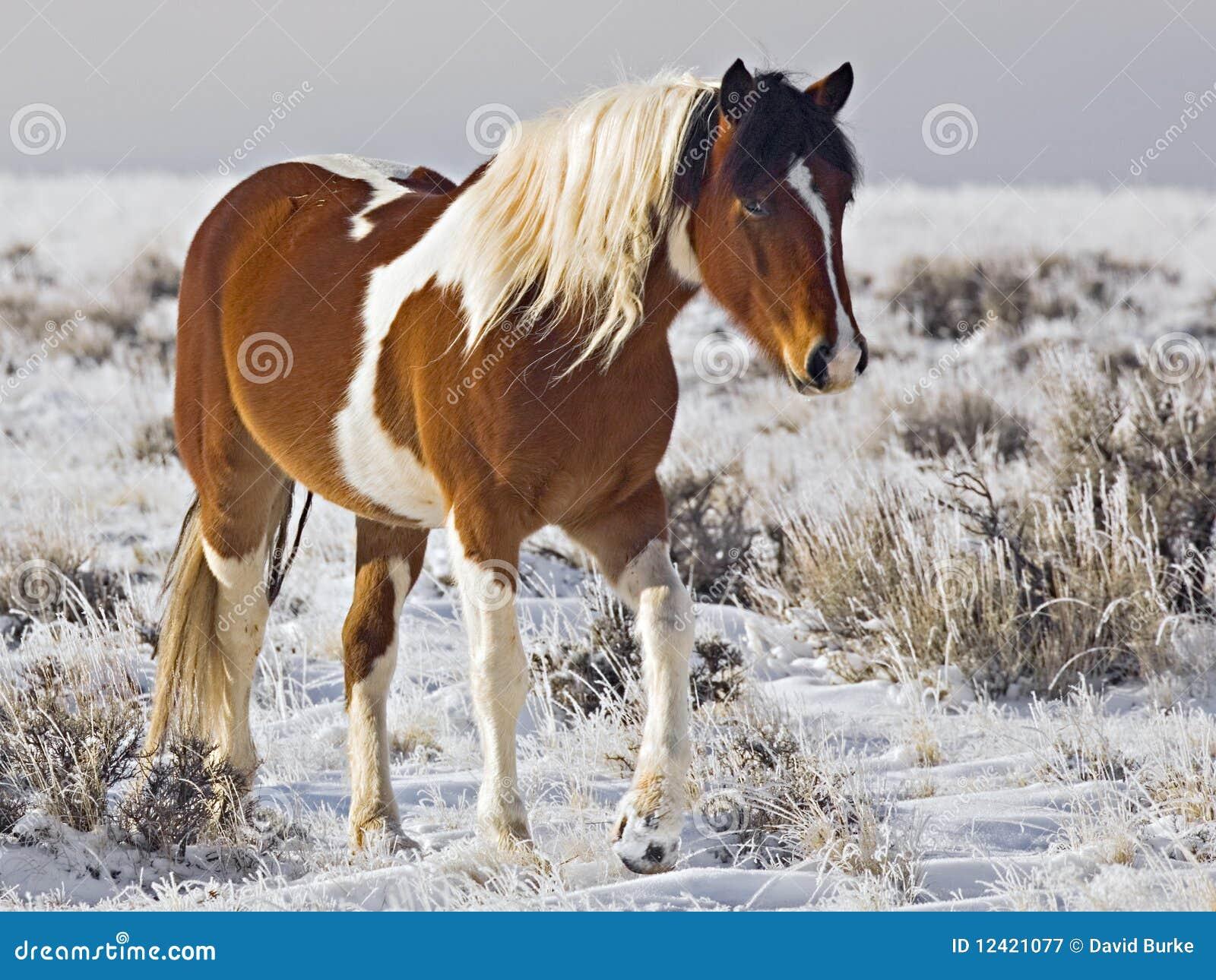 Wild Horse mare winter snow