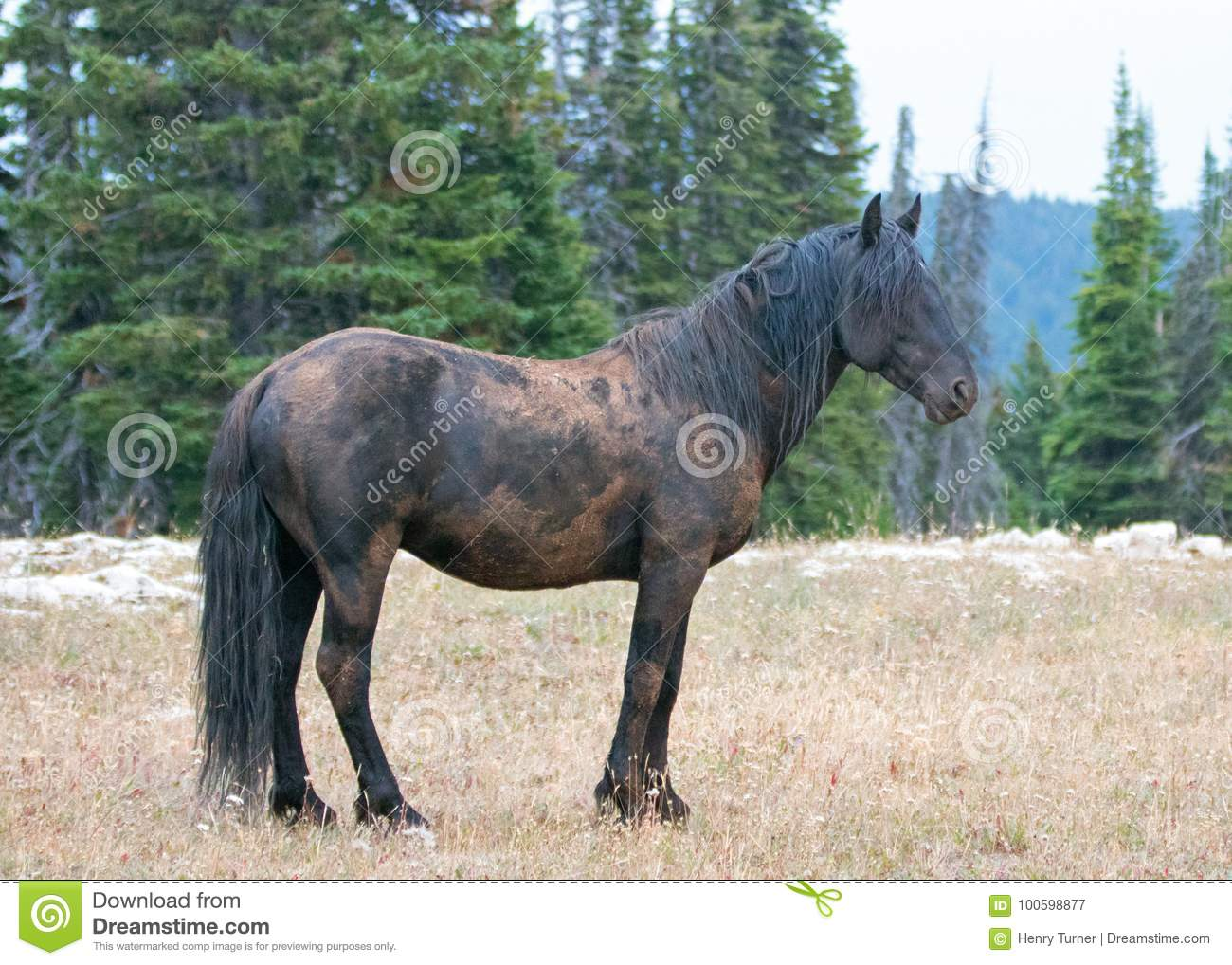 Wild Horse Mustang Black Band Stallion Who Had Just Rolled In The Dirt In The Pryor Mountains Wild Horse Range In Montana Usa Stock Image Image Of Dust Mountains 100598877
