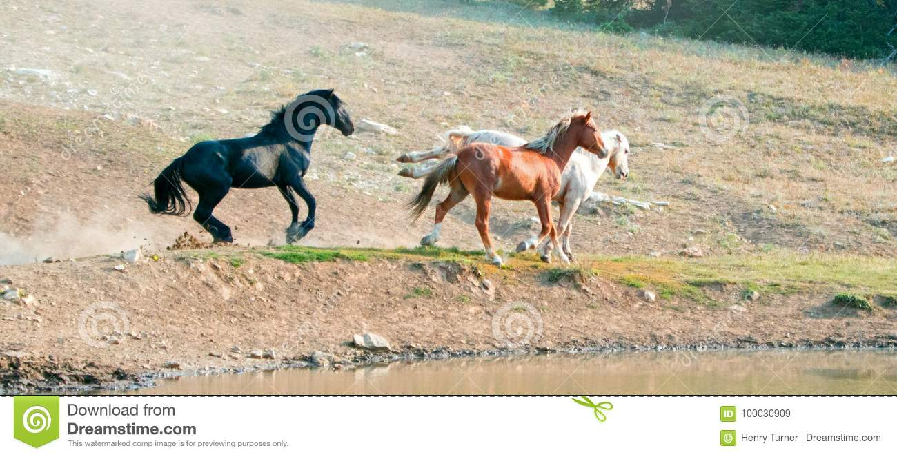 Wild Horse Mustang Stallions Running And Fighting In The Pryor Mountains Wild Horse Range On The Border Of Wyoming And Montana Usa Stock Image Image Of Ferus Blue 100030909