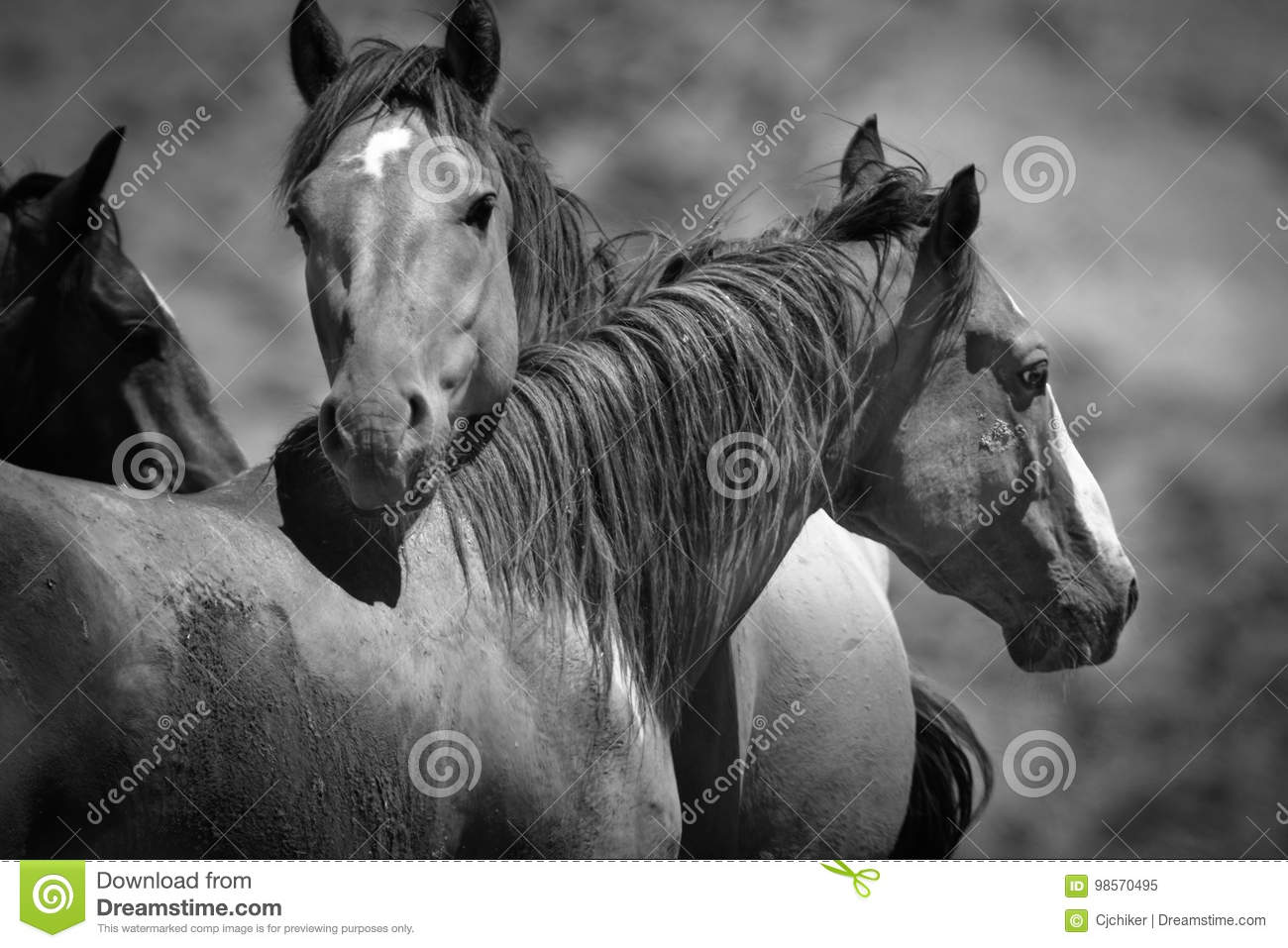 Wild Horses Black And White Stock Image Image Of Meadow Outdoors 98570495