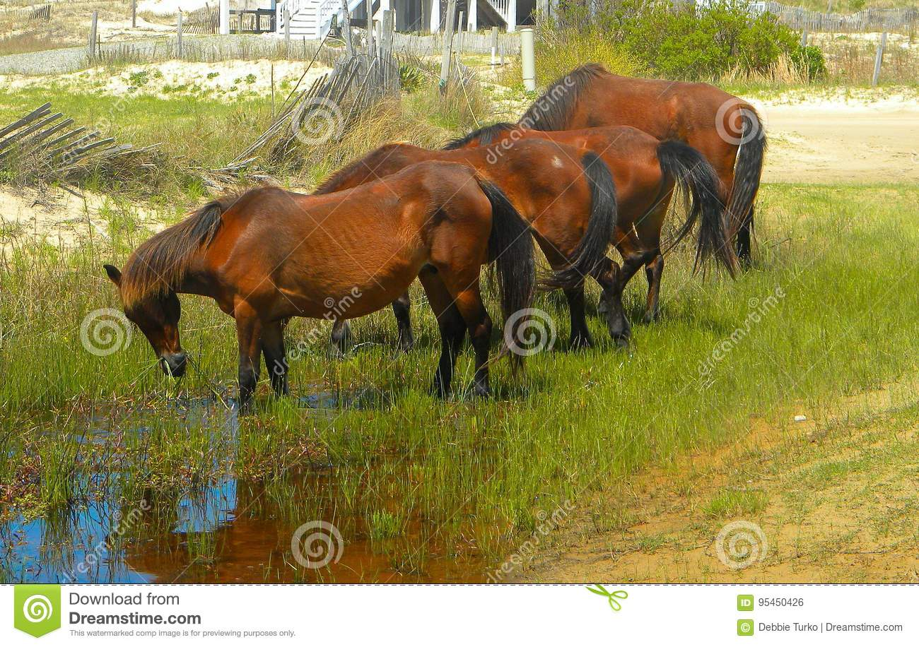 Wild Horses of Corolla North Carolina in a Group Grazing