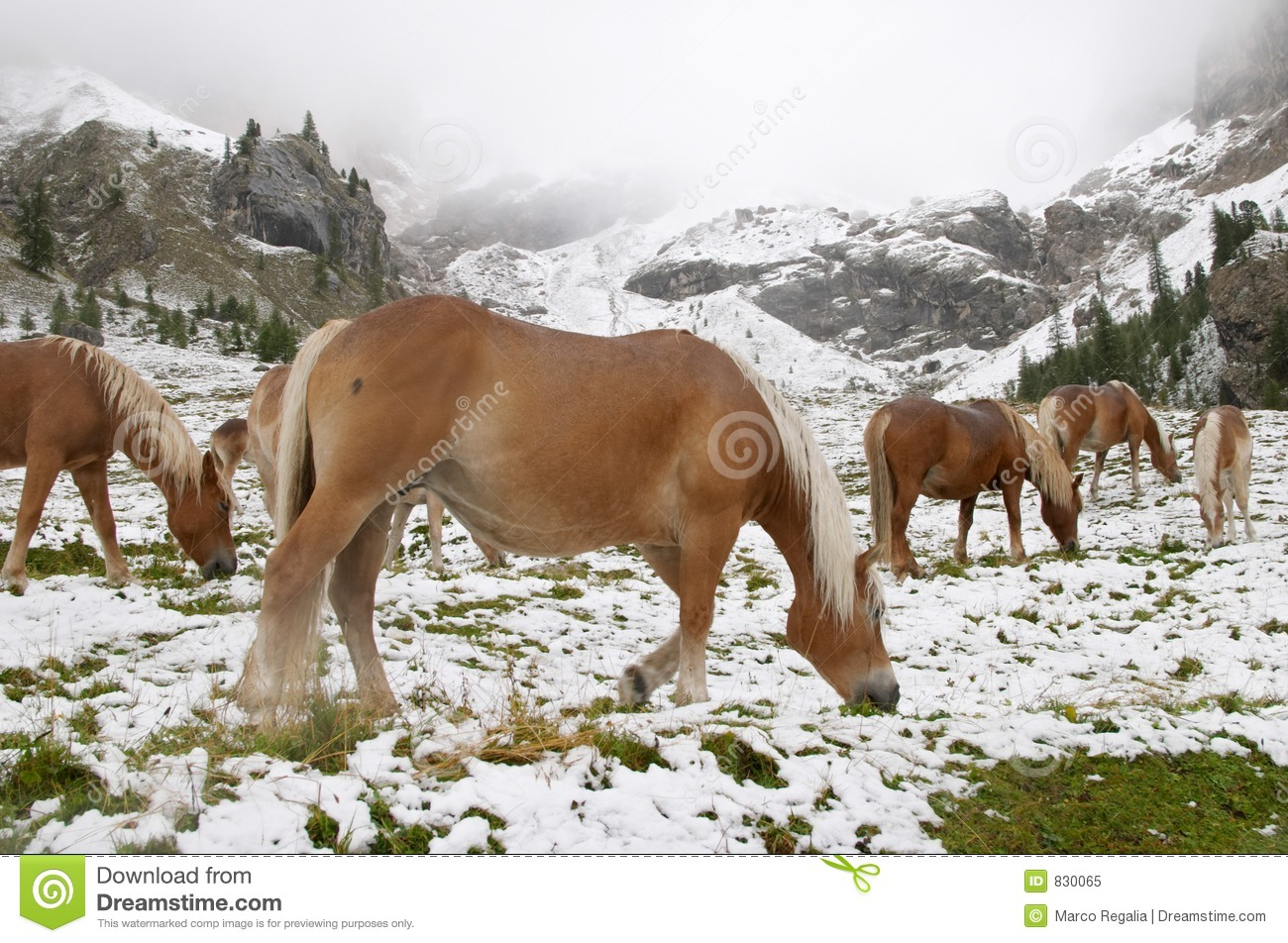 Wild horses in Dolomite Mountains