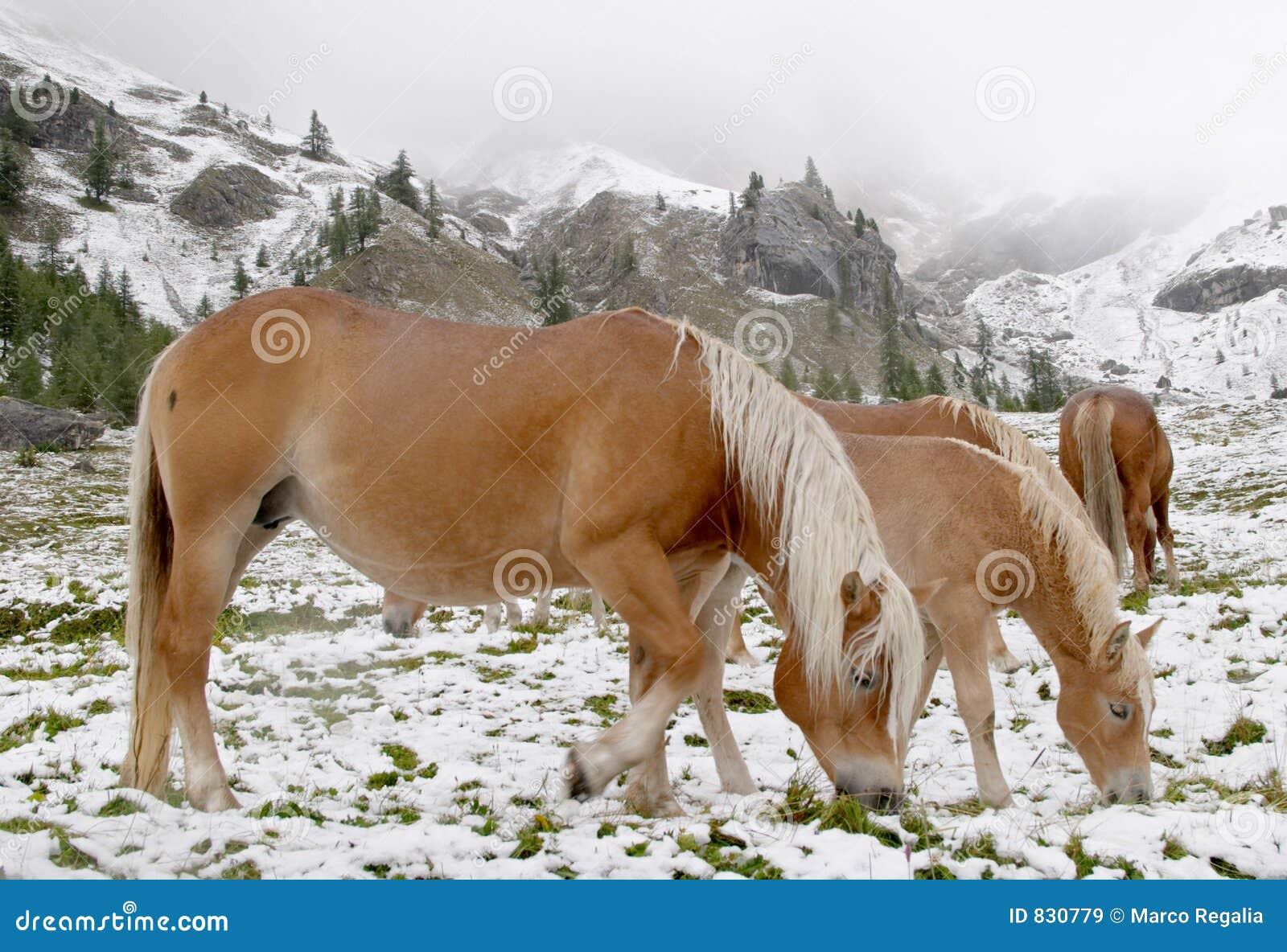 Wild horses in Dolomite Mountains