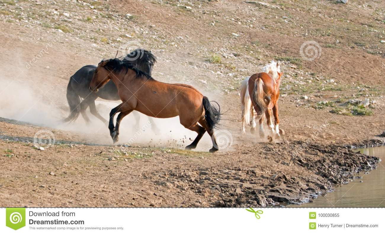 Wild Horses Mustang Stallions Fighting In The Pryor Mountains Wild Horse Range On The State Border Of Wyoming And Montana Usa Stock Image Image Of Equestrian Hole 100030855