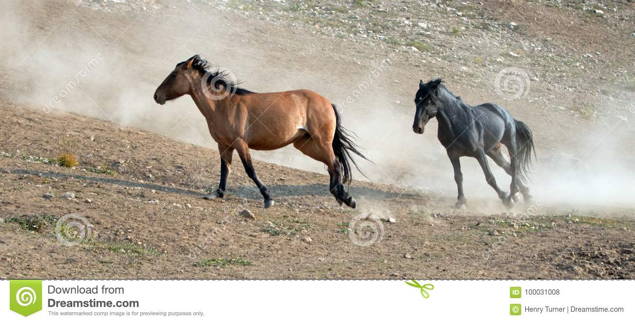 Wild Horse Mustang Stallions Running And Fighting In The Pryor Mountains Wild Horse Range On The Border Of Wyoming And Montana Usa Stock Photo Image Of Equine Grullo 100031008