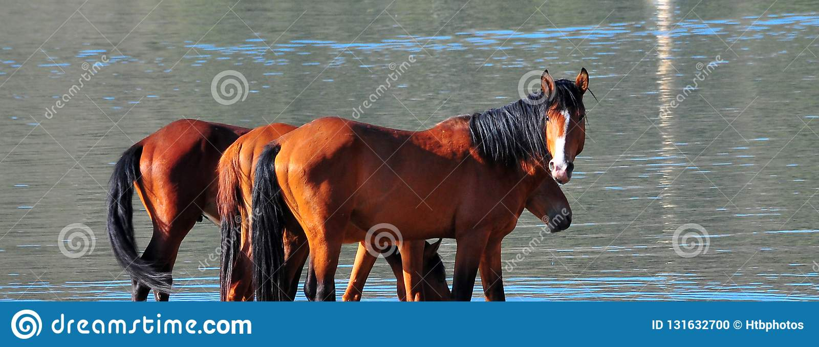 Wild Horses Playing For Fun Running Free