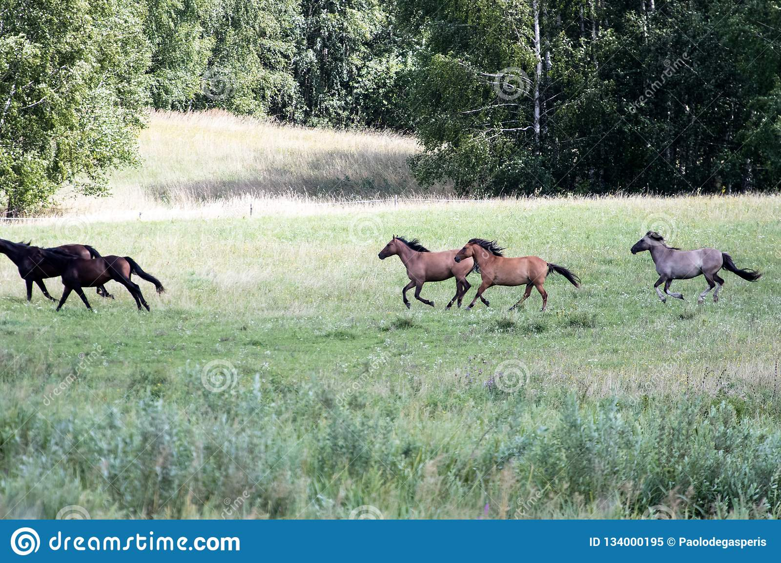 Wild Horses Running At A Gallop In A Countryside Plain Green Me Stock Image Image Of Freedom Grazing 134000195