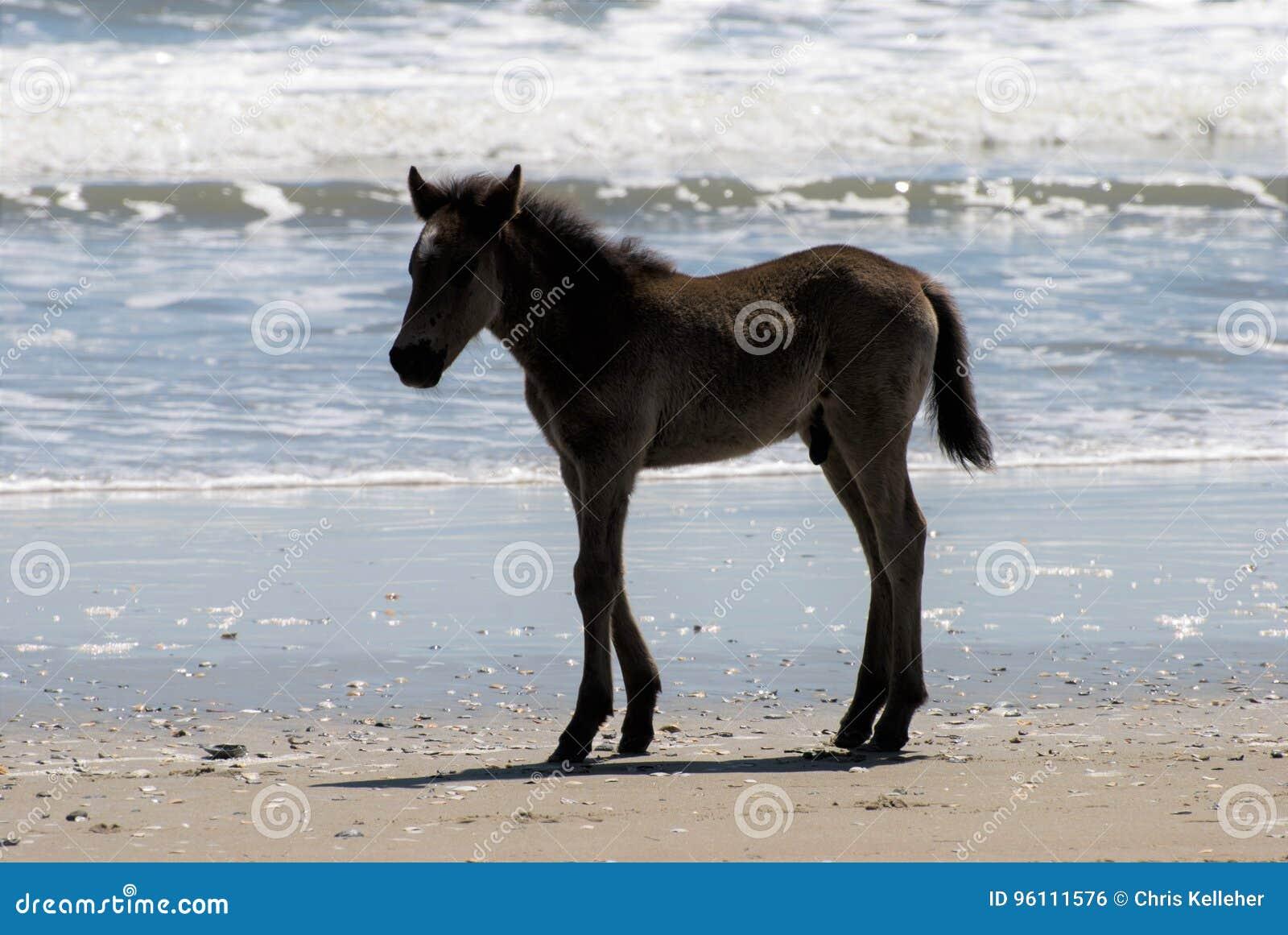 Wild horses walking along the beach in Corolla, North Carolina