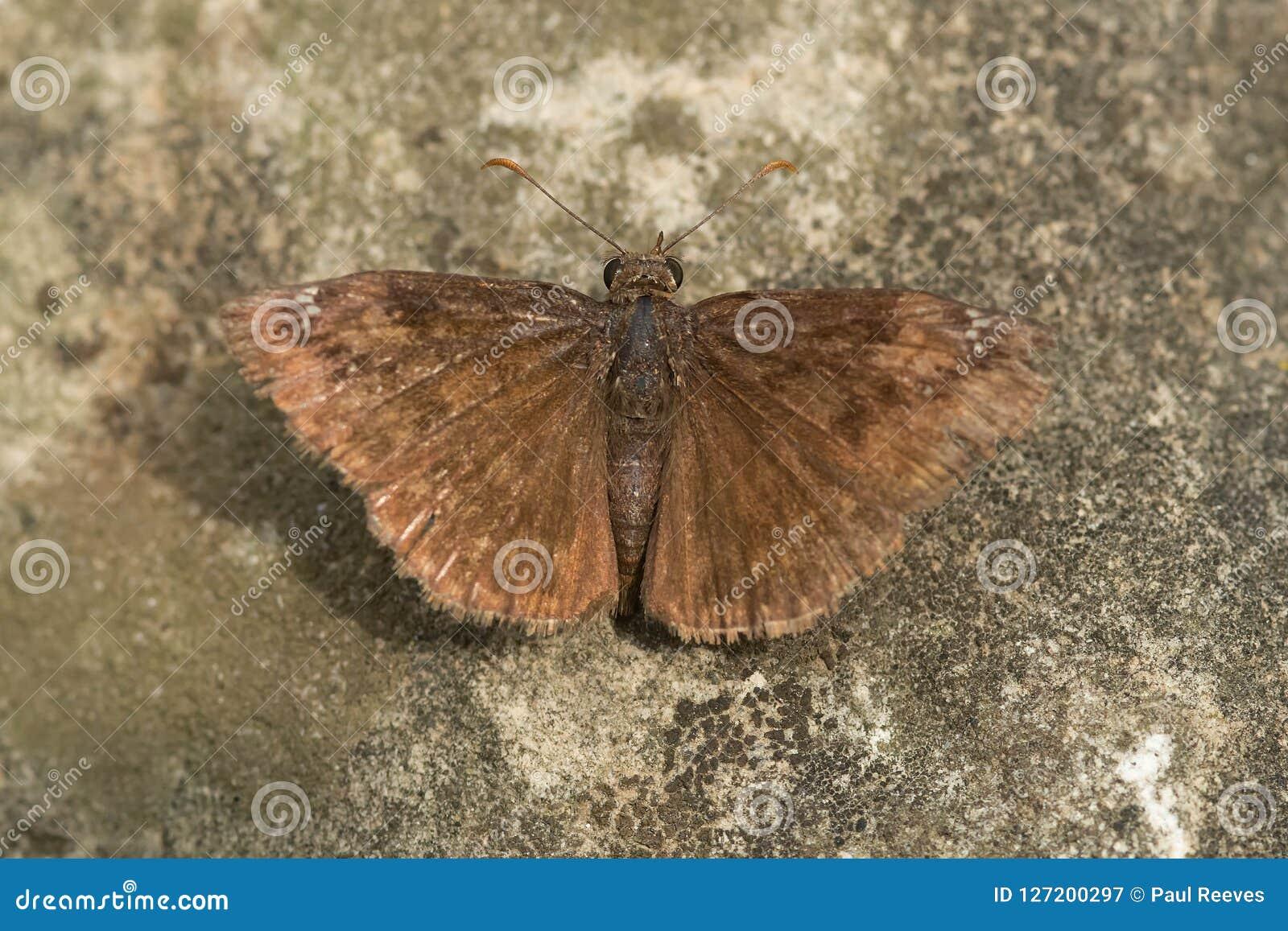 Wild Indigo Duskywing butterfly   Flickr - Photo Sharing!