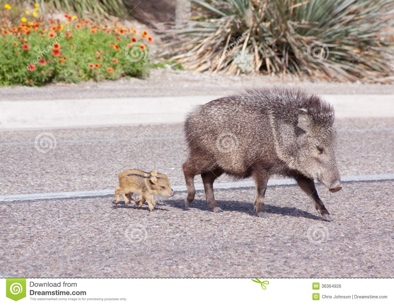 Wild Javelina And Babies Royalty Free Stock Image - Image: 36364926