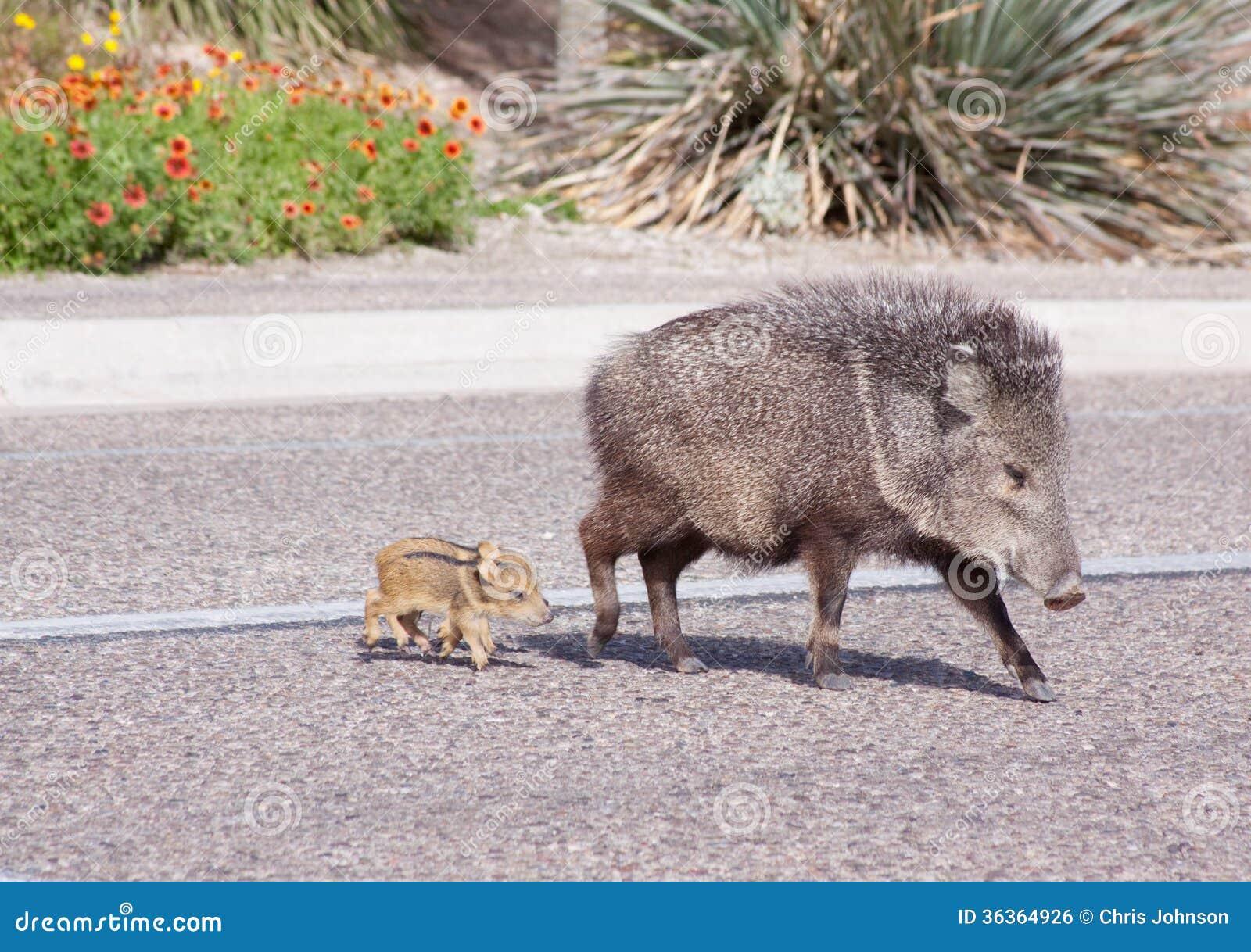Wild Javelina And Babies