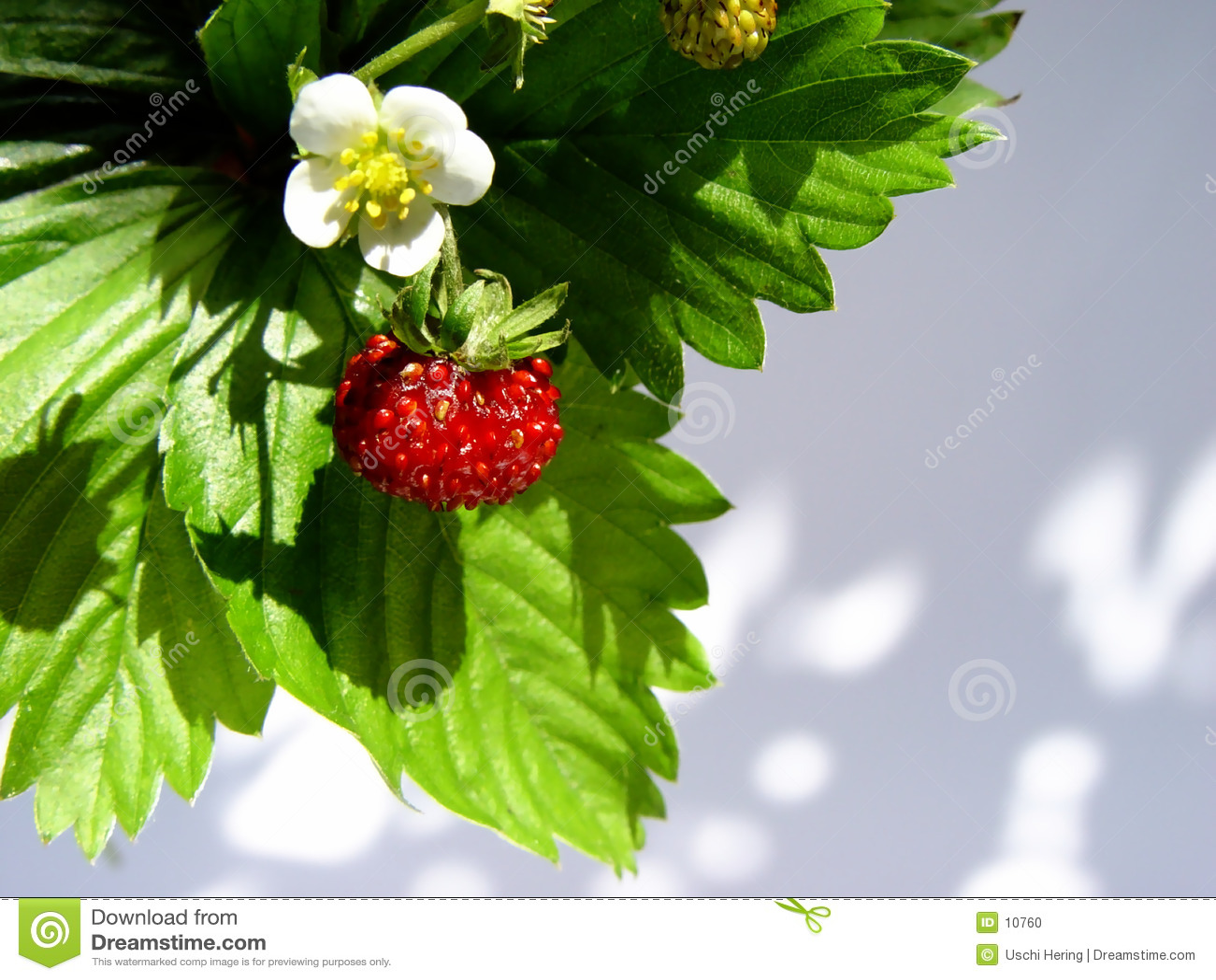 Wild jordgubbar