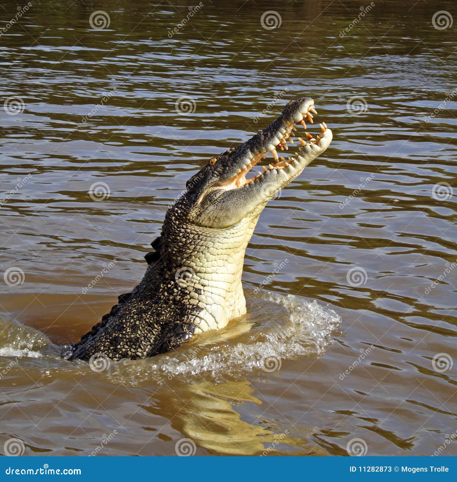 Wild jumping saltwater crocodile, Australia