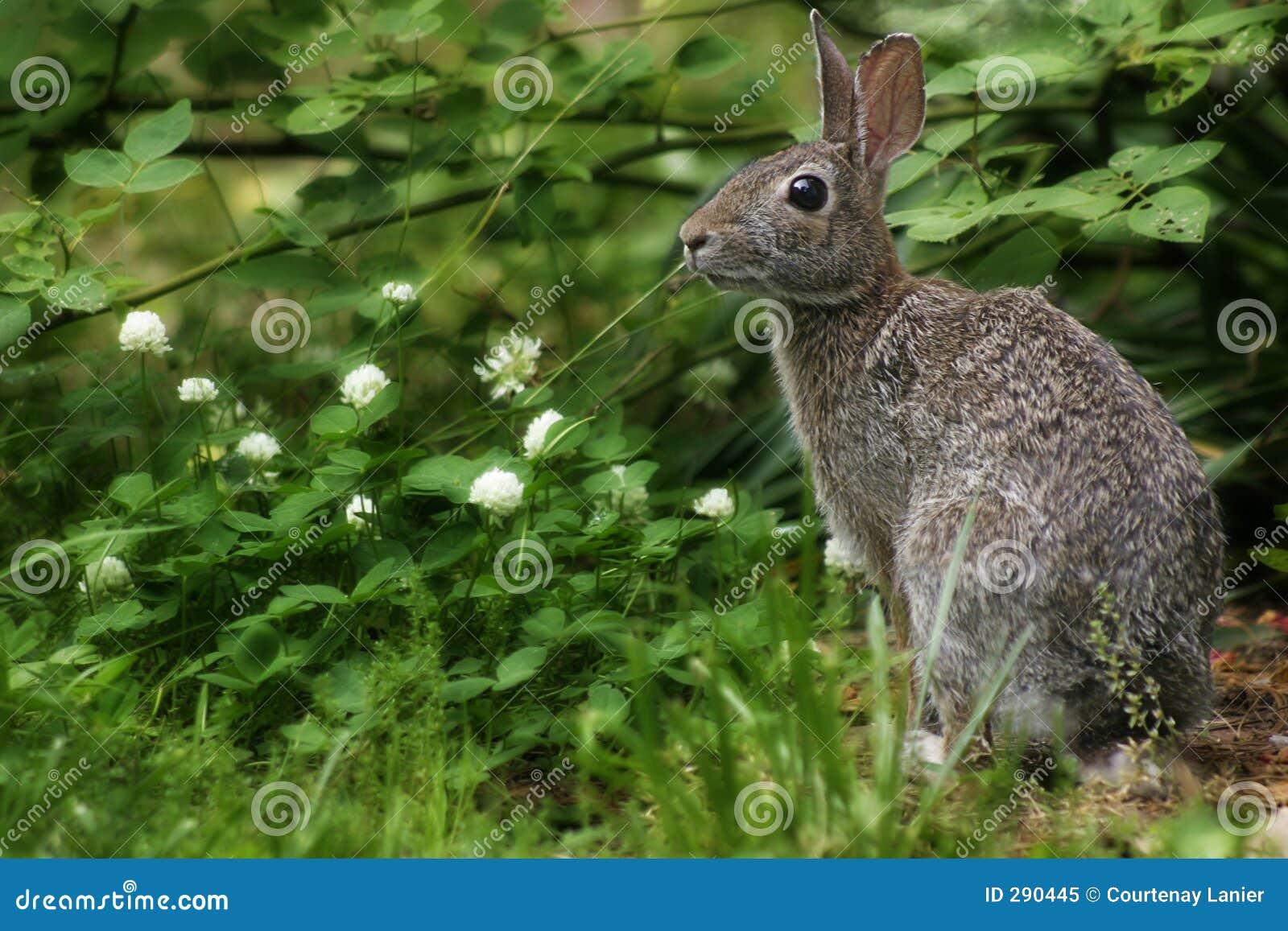 Wild kanin