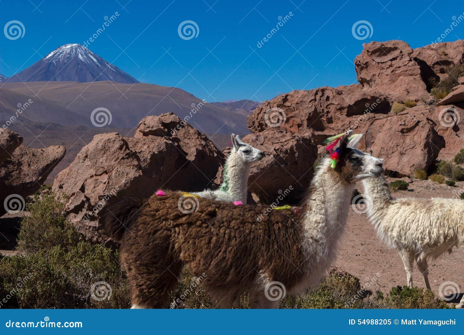 Wild lama