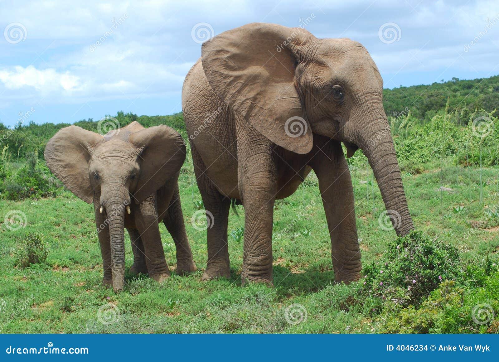 Eine mamma des afrikanischen elefanten die zusammen mit ihrem netten