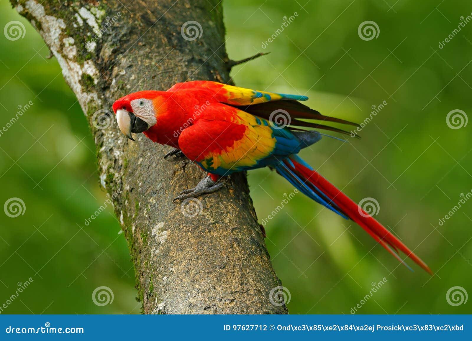 Wild lebende Tiere in Costa Rica Plappern Sie Scharlachrot des Keilschwanzsittich-, Aronstäbe Macao, im grünen tropischen Wald, C